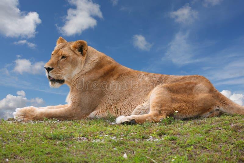 Löwin, die oben auf einen Hügel sitzt lizenzfreies stockbild
