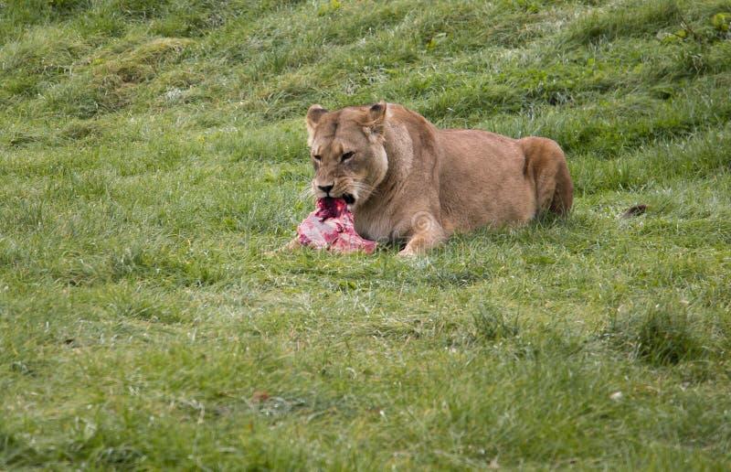 Löwin, die sein Opfer isst stockbild