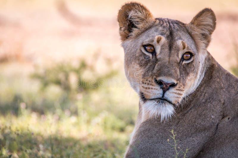 Löwin, die zurück im Kgalagadi schaut lizenzfreie stockfotos