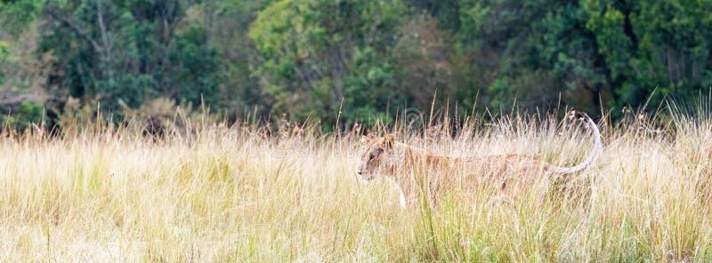 Löwin Gras-Netz-Fahne Afrikas in der hohen lizenzfreie stockbilder