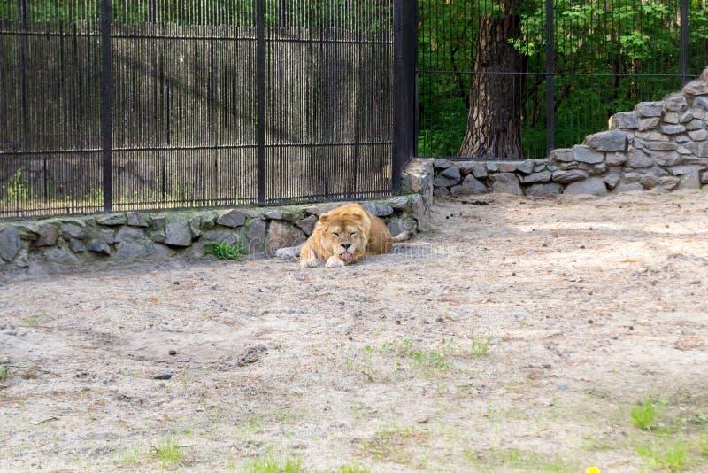 Löwin mit den orange und weißen Wolllügen lizenzfreie stockfotografie