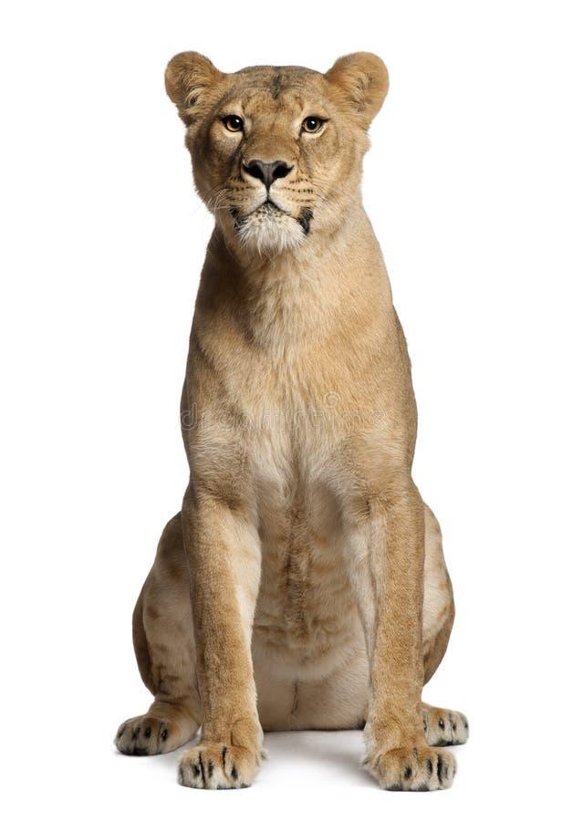 Löwin, Panthera Löwe, 3 Jahre alt, sitzend lizenzfreies stockbild