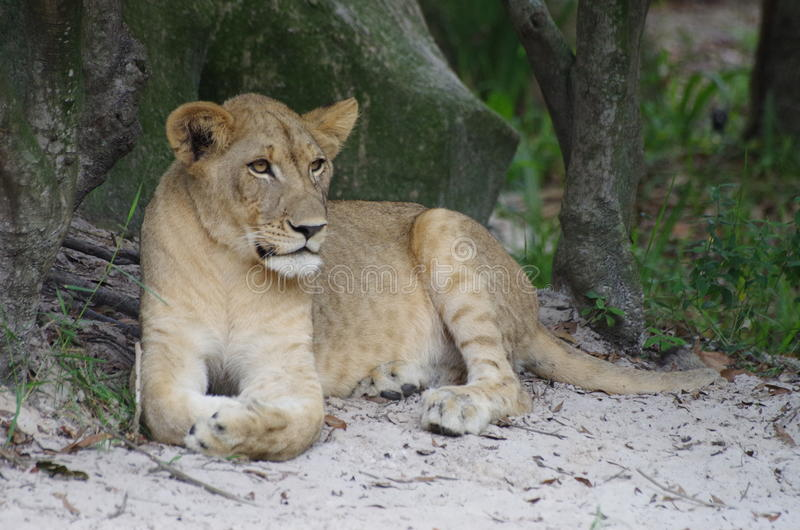 Löwin - Serengeti-Grasland lizenzfreie stockfotografie