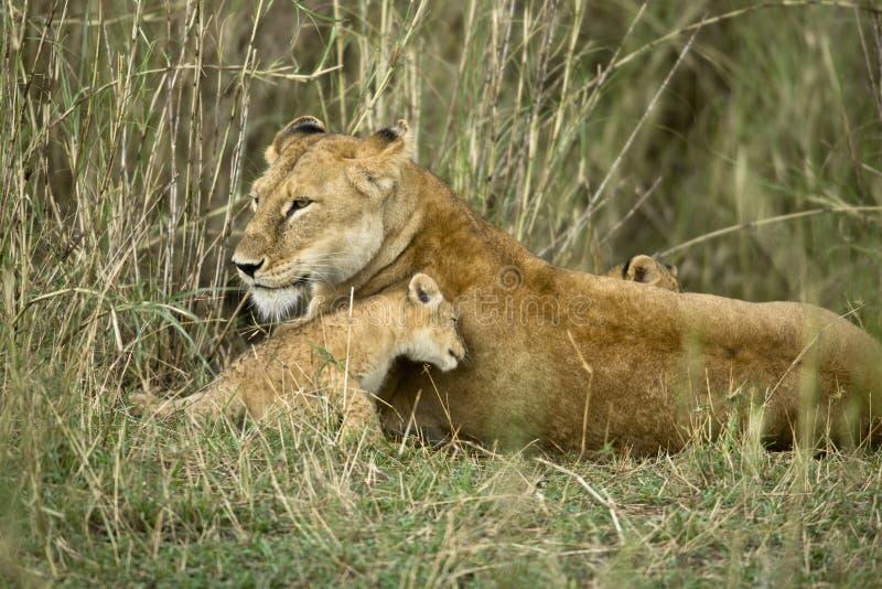 Löwin und ihr Junges, Serengeti Nationalpark, lizenzfreies stockfoto