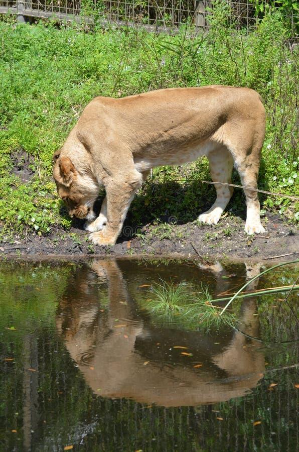 Löwin und ihre Reflexion stockfotografie
