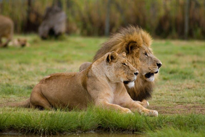 Löwin und Löwe stockfotos