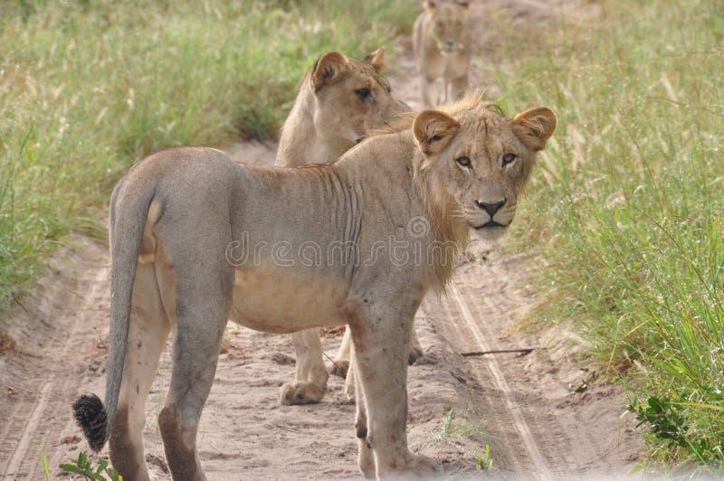 Löwin, uns beobachtend stockfotos