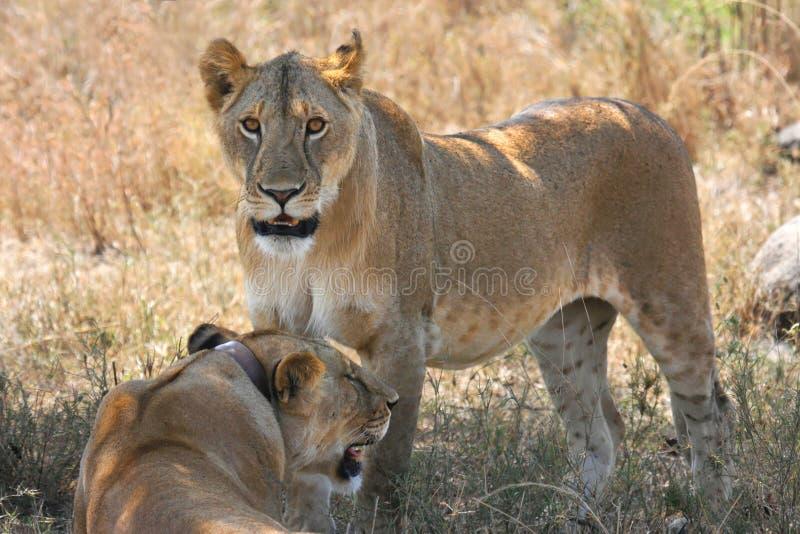 Löwin zwei lizenzfreies stockfoto