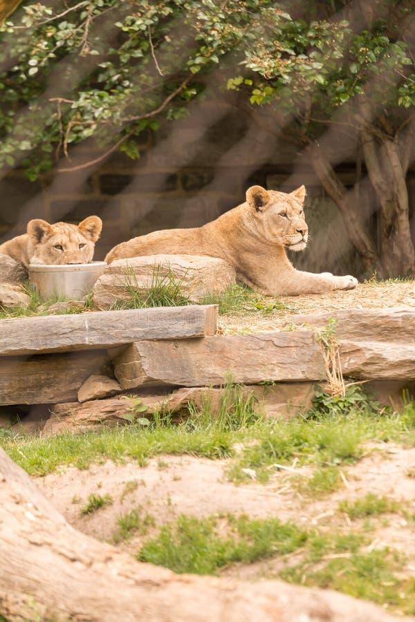 Löwin zwei lizenzfreie stockbilder