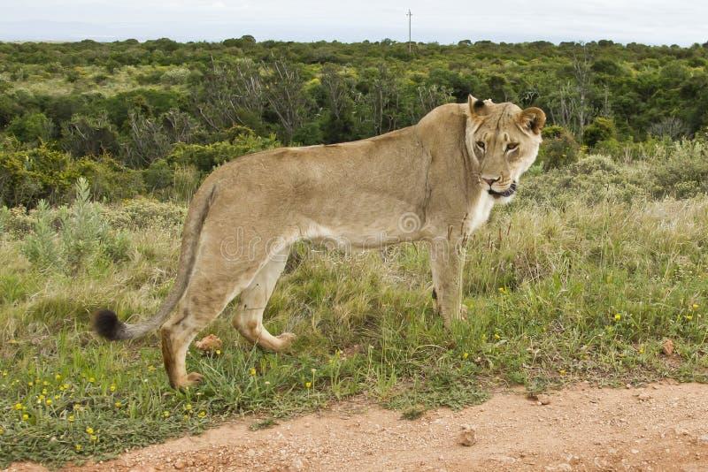 Löwinanstarren Stockbild