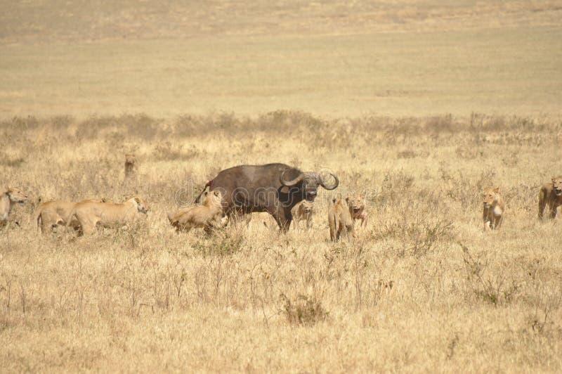 Löwinnen, die einen Wasserbüffel in Angriff nehmen stockfotografie