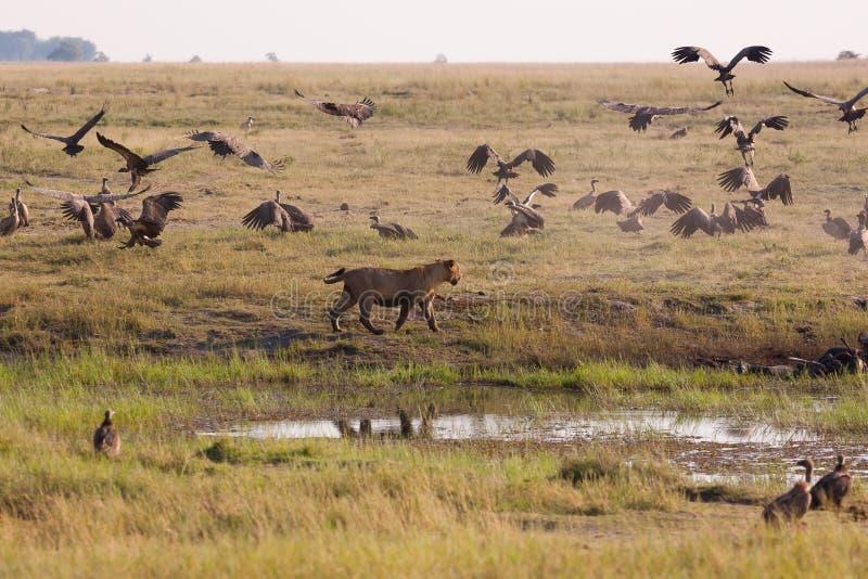 Löwinnen, die Geier von einer Tötung jagen lizenzfreies stockfoto