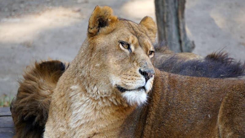 Löwinstillstehen stockbild