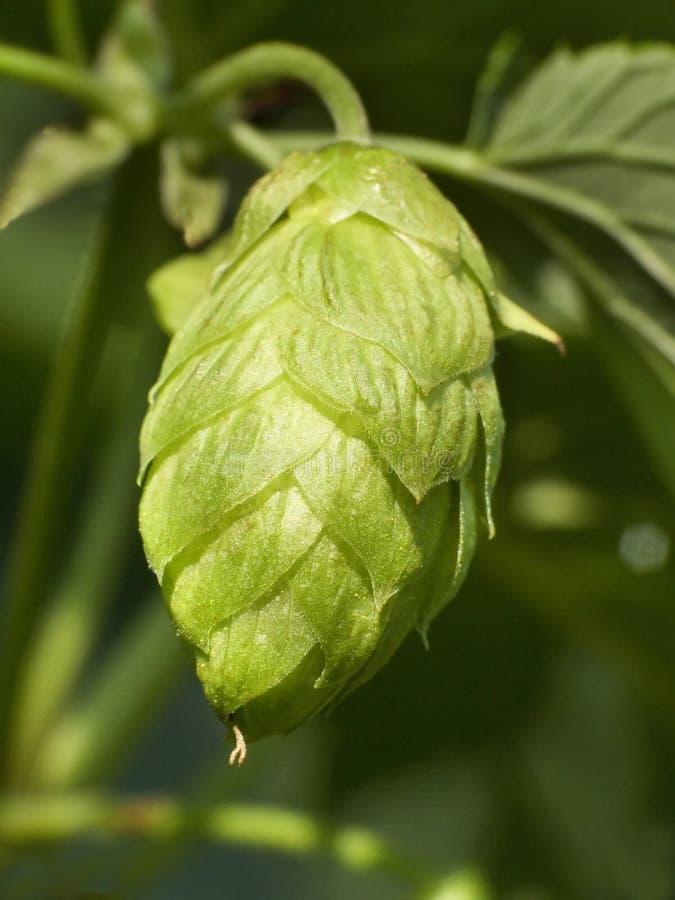Lúpulo - gosto da cerveja 3 fotos de stock royalty free