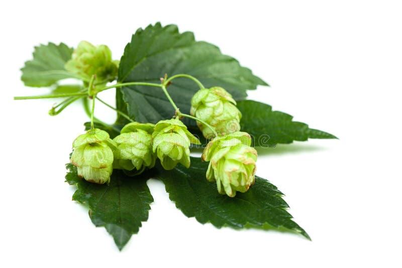 Lúpulo verde com as folhas no fundo branco fotografia de stock