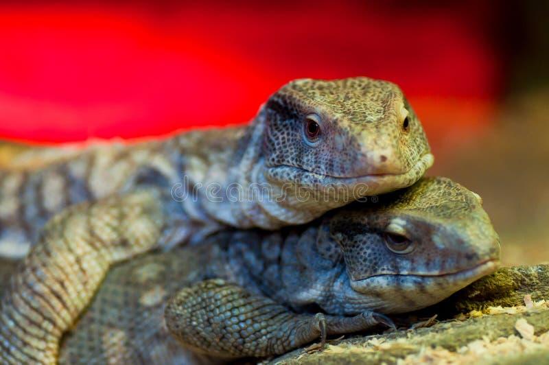 Lüge mit zwei große Leguanen lizenzfreies stockbild