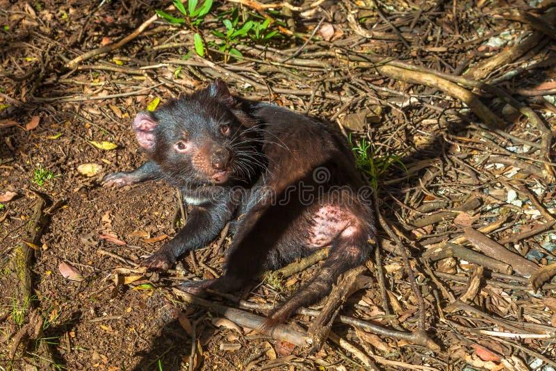 Lügen des tasmanischen Teufels stockbild