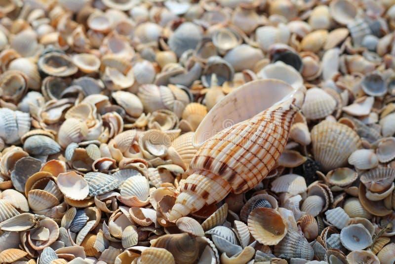 Lügen mit einen große Muscheln auf viele kleinen runden Muscheln stockfoto