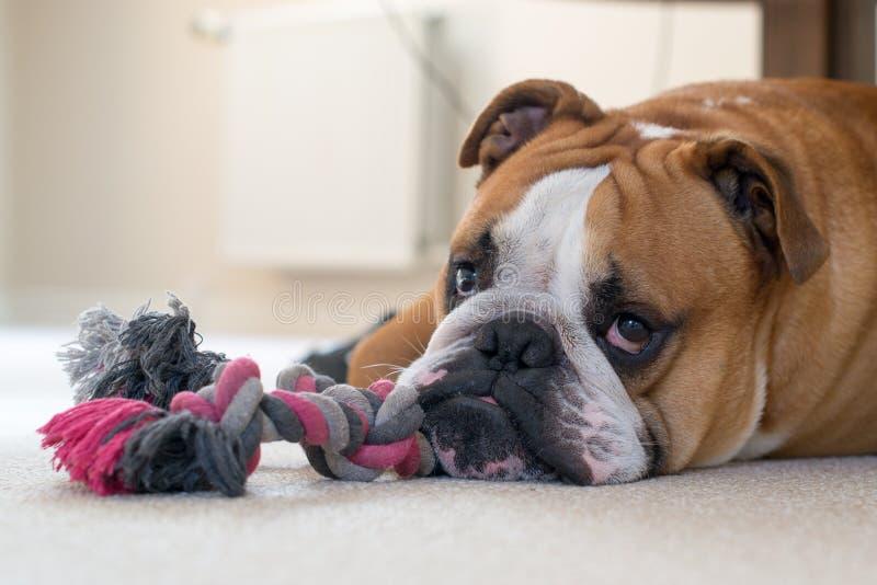 Lügen mit Spielzeug Englischbulldogge stockfotografie