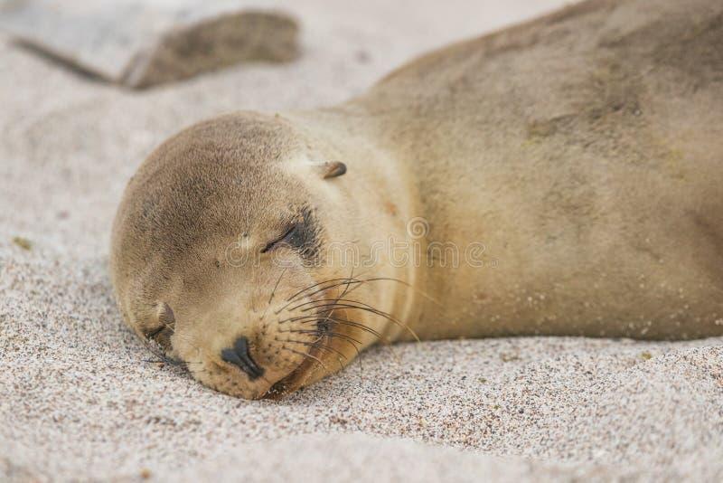 Lügenc$schlafen des Galapagos-Seelöwejungen im Sand, der auf Strand Galapagos-Inseln liegt lizenzfreie stockfotos