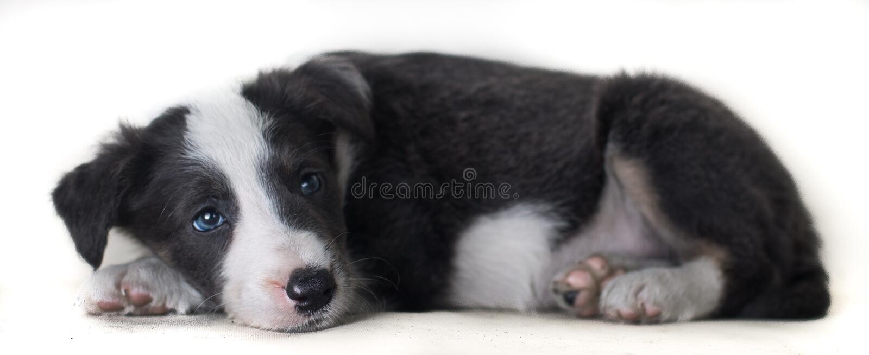 Lügenhund border collie entzückend und glücklich auf dem weißen bakcground, denkend an etwas lizenzfreies stockfoto
