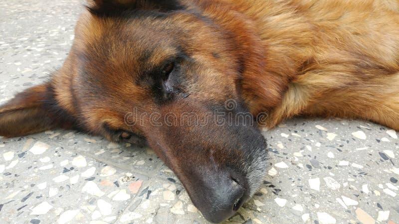 Lügenhund mit einem Auge öffnen sich stockbilder