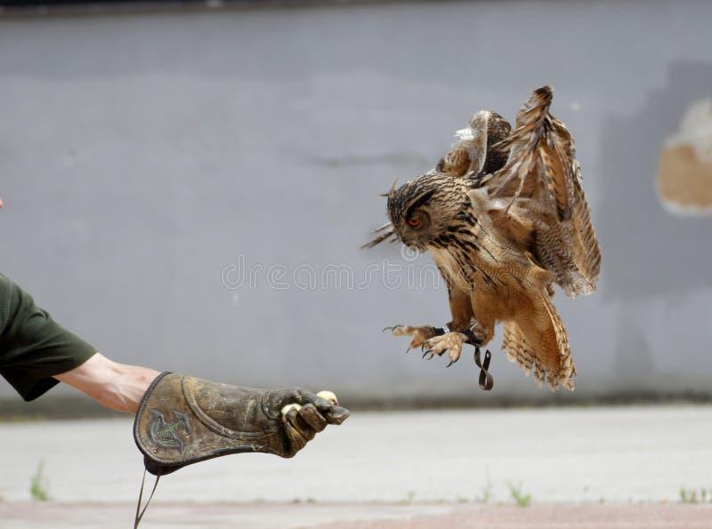 Lądujący Eagle sowy (dymienicy dymienica) obraz royalty free