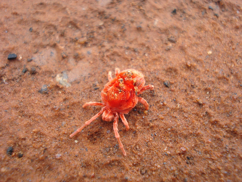 lądzieniec czerwieni trombidiformes zdjęcia royalty free