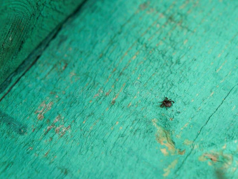 Lądzieniec insekt, ssa darmozjada wiosna, pogorszenie, delikatnie, Lyme choroba, zapalenie mózgu obraz royalty free