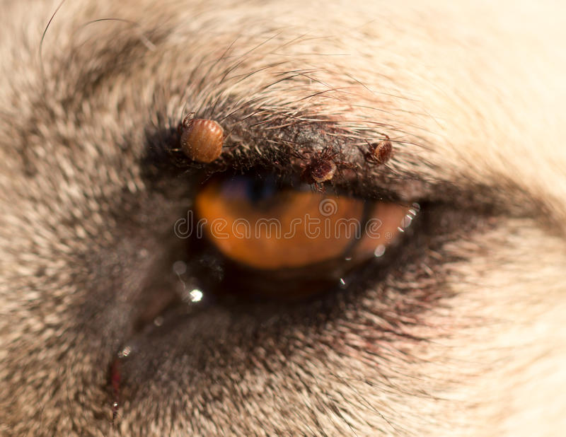 Lądzieniec na oku pies obraz stock
