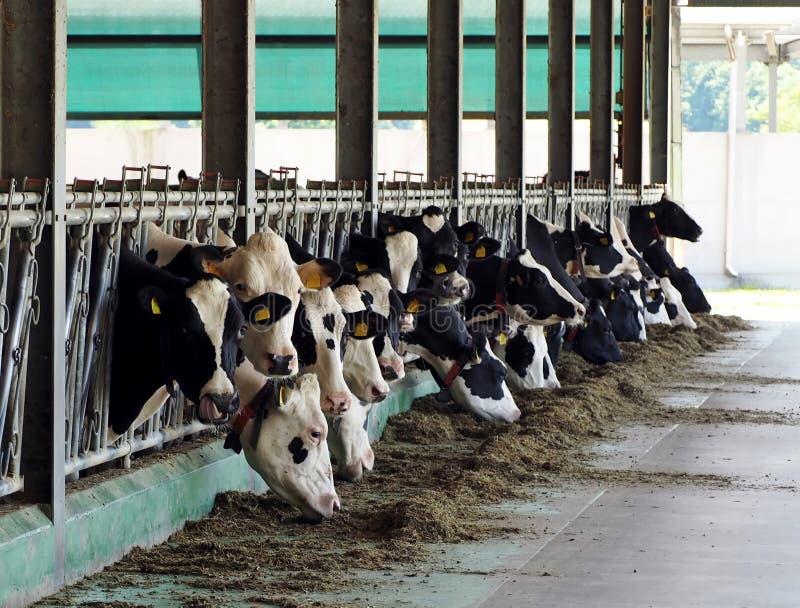 Lęgowe nabiał krowy w bydlę kramu, krów głowy są z klauzur jeść zdjęcia stock