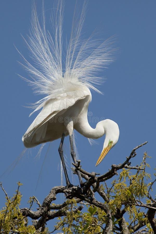 lęgowy egret upierzenia biel zdjęcia stock