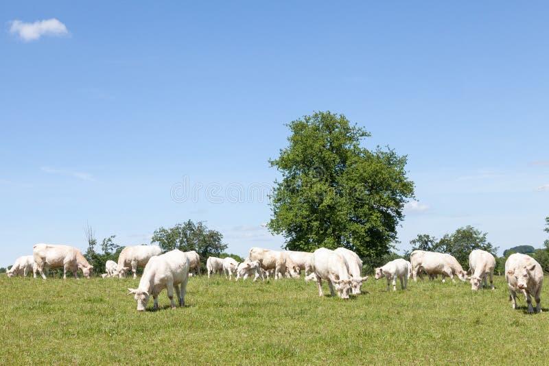 Lęgowy stado biały Charolais wołowiny bydła pasanie w pastu zdjęcie royalty free