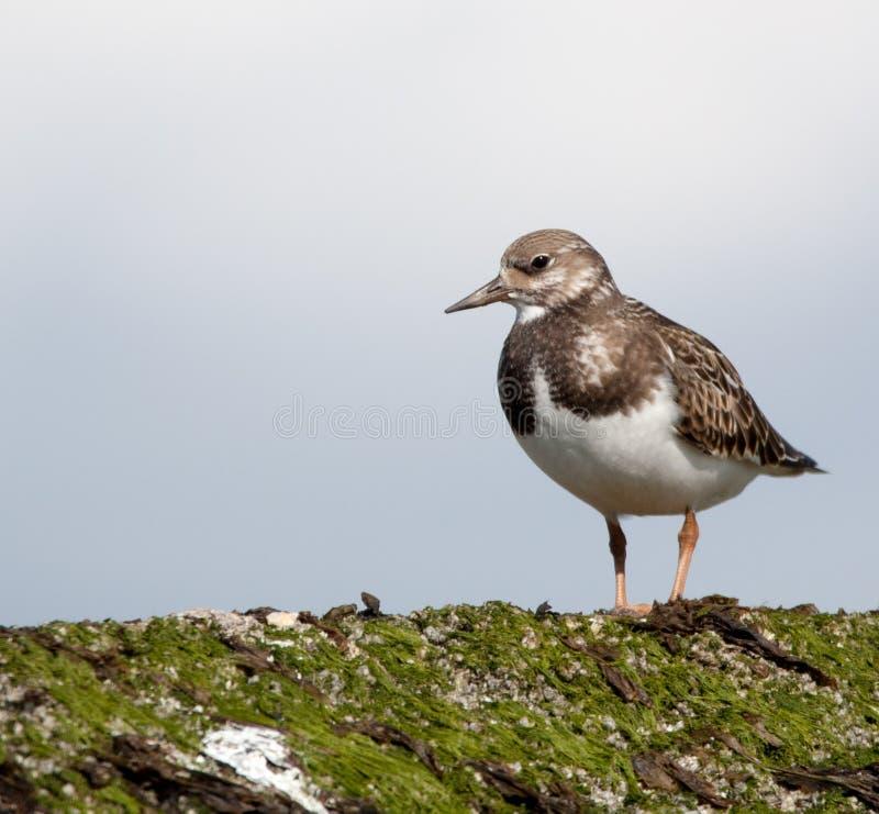 L'échassier, Turnstone, était perché sur une protection côtière photo libre de droits