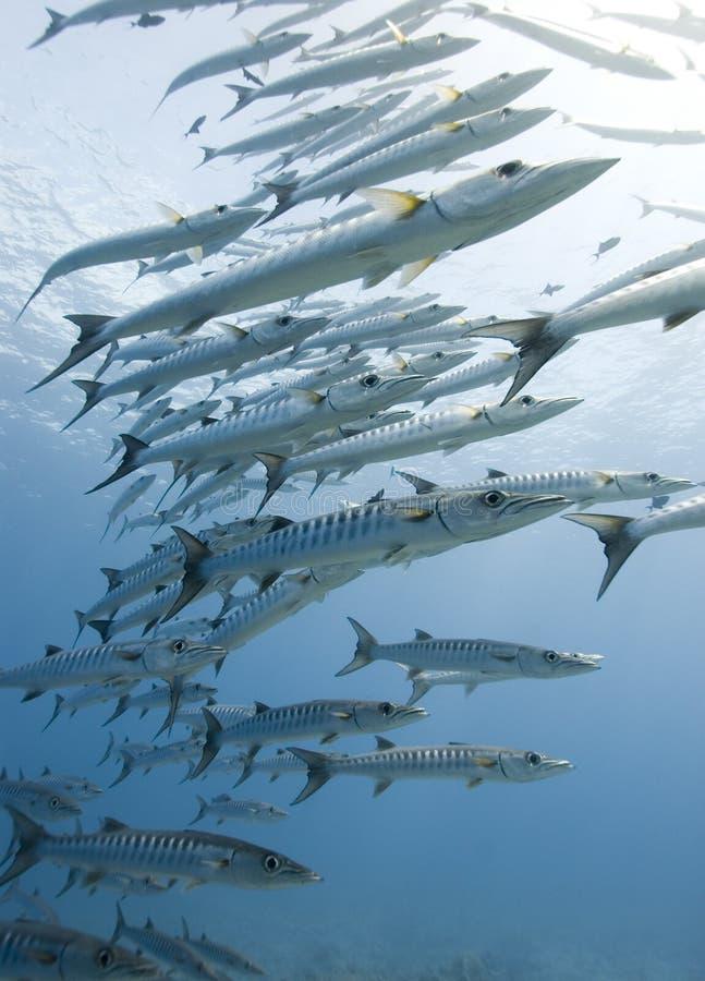 L'école des barracudas examinent l'appareil-photo images libres de droits