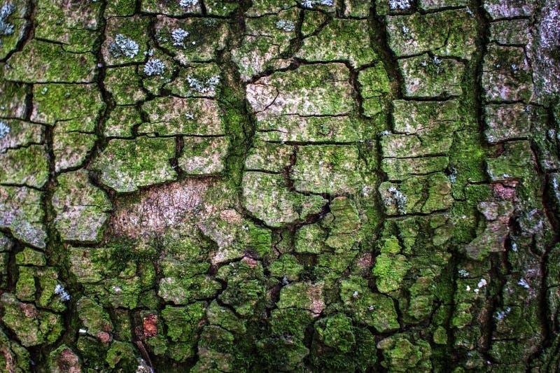 L'écorce d'un arbre couvert de la mousse image libre de droits