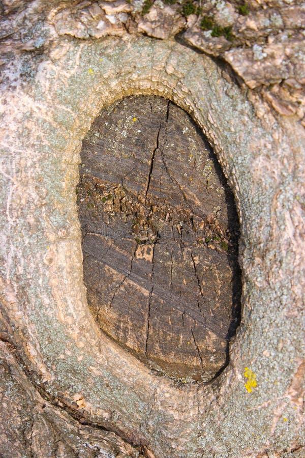 L'écorce d'un arbre s'est accrue comme fenêtre photo libre de droits