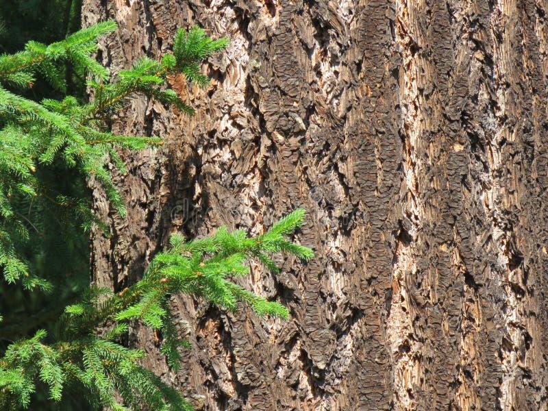 L'écorce d'un vieil arbre conifére et d'une jeune brindille photo stock