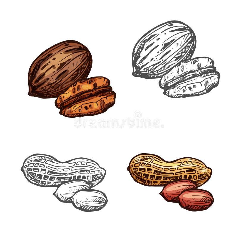 L'écrou et le haricot ont isolé le croquis de l'arachide et de la noix de pécan illustration de vecteur
