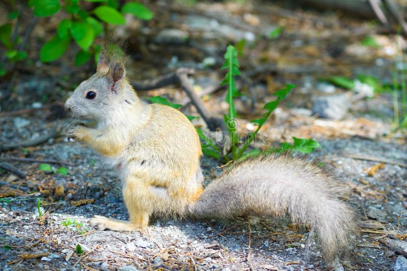 L'écureuil avec la queue mangent vers le bas des arachides de noix photos stock