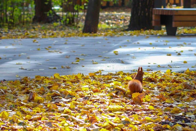 L'écureuil dans le parc, rongeur dans la nature photos libres de droits