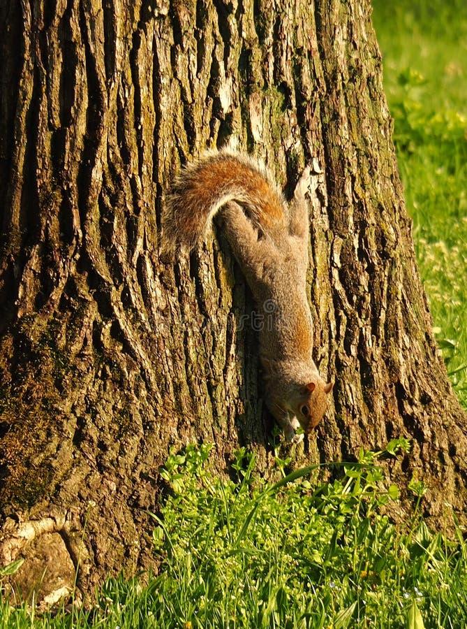 L'écureuil descendent pour la recherche de quelque chose manger