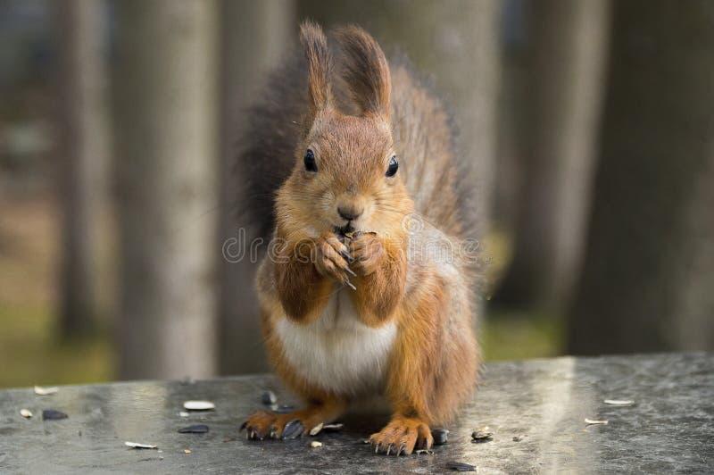 L'écureuil mange des graines de tournesol photos stock