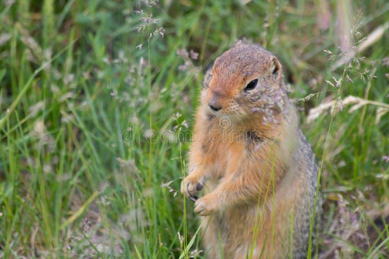 L'écureuil moulu arctique saute dans un domaine photos libres de droits