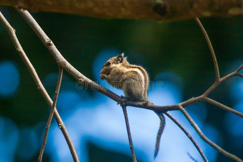 L'écureuil rayé de l'Himalaya mignon ou l'écureuil rayé birman est dans la branche de l'arbre Beauté et fourrure Tamia, c'est par photo libre de droits