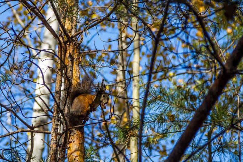 L'écureuil rouge drôle se reposant sur une branche en parc et mange un écrou image libre de droits