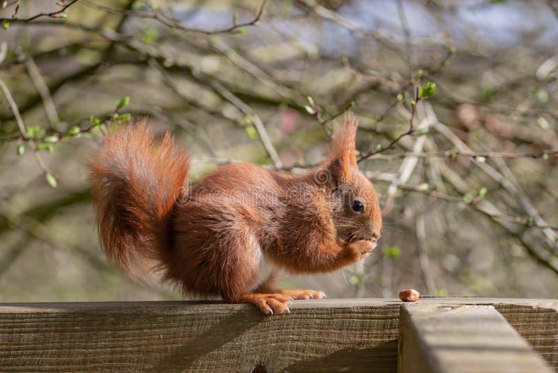 L'écureuil rouge ou écureuil rouge eurasien photos libres de droits