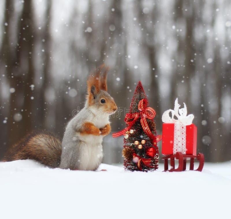 L'écureuil rouge se repose sur la neige près du petit arbre de Noël photos stock