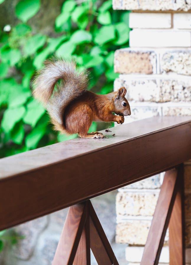 L'écureuil rouge se repose sur les jambes de derrière sur la balustrade de la véranda images stock