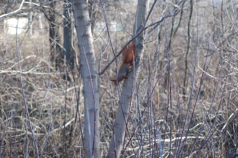 L'écureuil saute sur le buisson photos stock